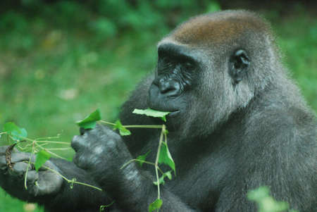Silverback gorilla snacking on green leaves.