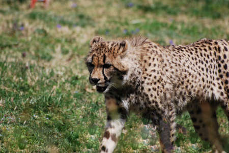 Cheetah with great markings stalking on a prairie.