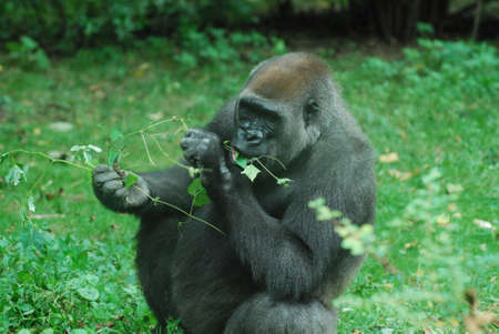 Gorilla snacking on new leave shoots on a vine.