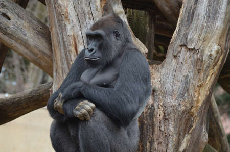 Gorilla leaning back against a dead tree.