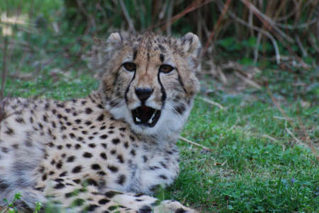 A wild cheetah lounging in the sunshine.