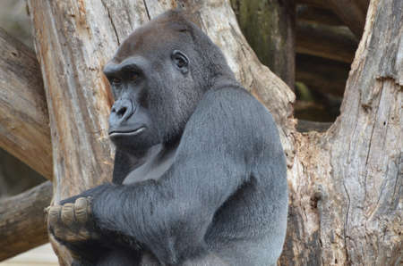 A very solemn look on the face of a gorilla.