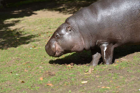 Pygmy hippo snacking on the grass in early spring.