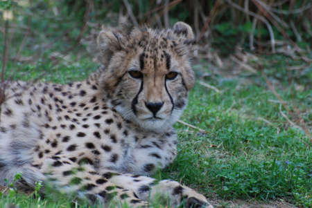 Very impressive dark markings on the face of a cheetah in the sun. 版權商用圖片