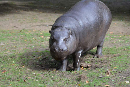 Wild look at a pygmy hippo in the wild.