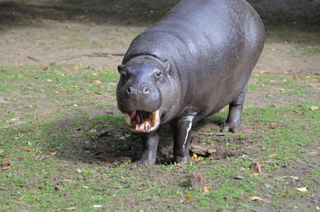 Silly pygmy hippo with his mouth open showing off his teeth in a grin. 版權商用圖片