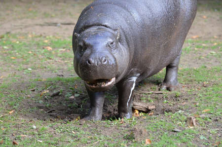 Pygmy hippo with his mouth open slightly.