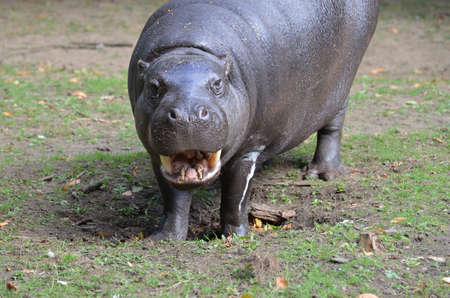 Smiling pygmy hippo with his mouth partially open. 版權商用圖片