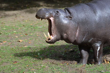 Yawning pygmy hippo with his mouth wide open. 版權商用圖片