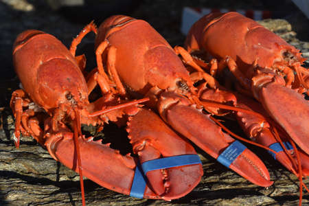 Great Lobsters from Maine Ready for Supper Stok Fotoğraf
