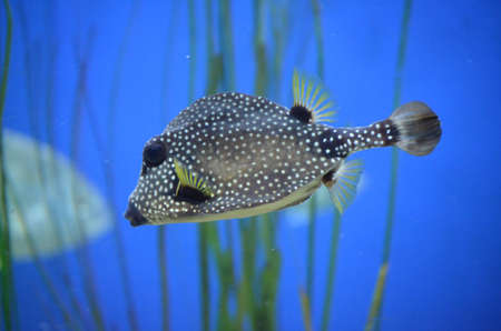 black and white spotted trunkfish with yellow accenta swimming underwater 写真素材