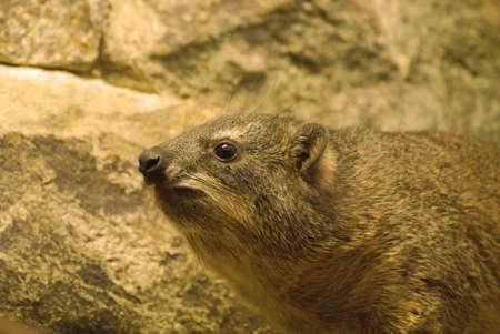 Rock hyrax in rocky terrain in the wild.
