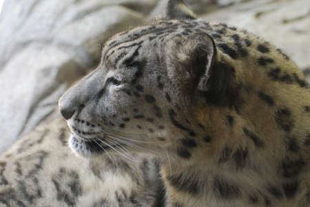 Really amazing spotted leopard's profile while he is resting. 写真素材