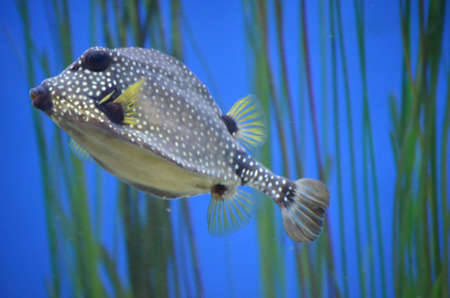 Beautiful trunkfish with striking spotted pattern swimming though green vegetation underwater 写真素材