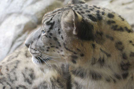 Really amazing profile of a spotted leopard iwth very fluffy fur. 写真素材