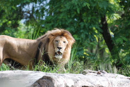 Large prowling male lion with his mouth open. 写真素材
