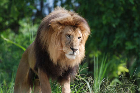 Large male lion with a thick bushy mane around his head. 写真素材
