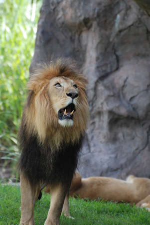 Lion showing his teeth while he growls and paces. 写真素材