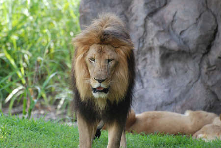 Very expressive male lion roaming around a grass area. 写真素材