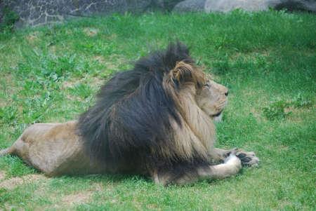 Lion resting on a matt of thick green grass. 版權商用圖片