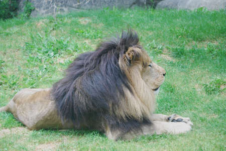 Gorgeous lion resting on a pad of green grass. 写真素材