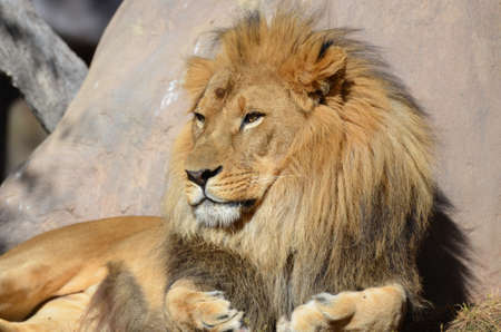 Gorgeous golden African lion soaking up the summer sun. Stockfoto