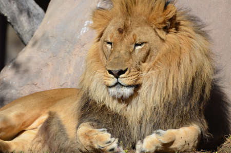 African lion resting on a warm summer's day.