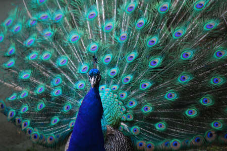 Blue peafowl with his feathers expanded.