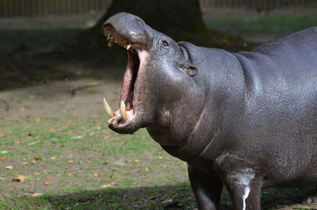 Pygmy hippopotamus with his mout open very wide showing off his teeth.