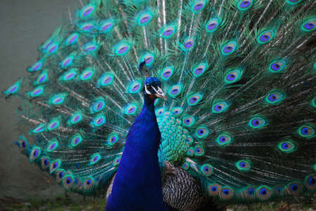 This peacock is attempting to attract his mate with his feather's expanded.