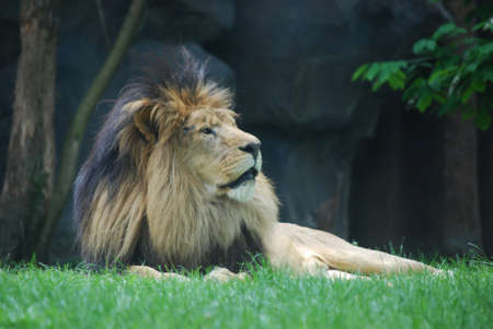 Thick black fur mane on the head of a relaxing lion. 写真素材