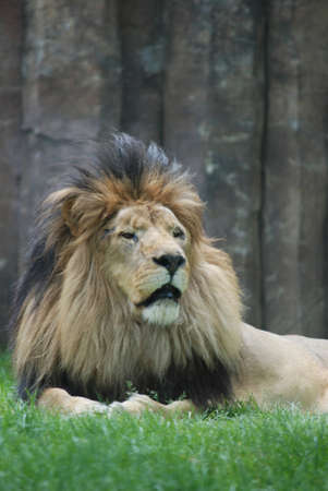 Lion with the fur of his mane standing up around his head.
