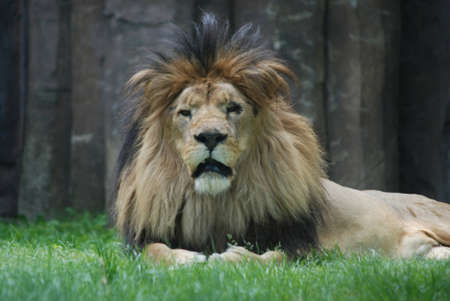 Gorgeous thick fur mane encompassing the head of a male lion. 写真素材