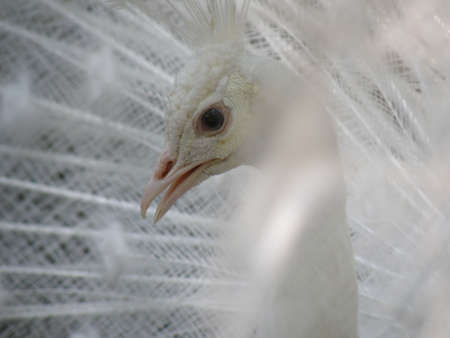 Up close with a white peafowl bird. 写真素材