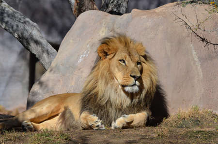 Lion resting against a rock in the warm sun light. 写真素材