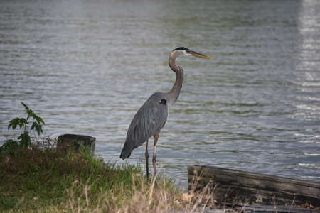 Beautiful great blue heron on the edge of the river bank.