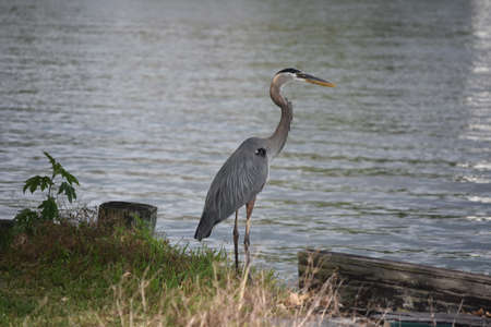Beautiful great blue heron on the banks of Barataria Louisiana. 版權商用圖片