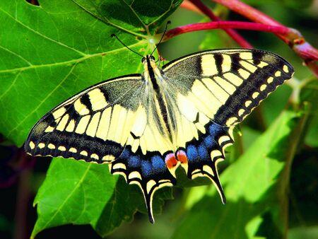 Papilio machaon photo