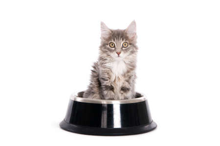 Grey kitten in a dog s bowl, isolated on white