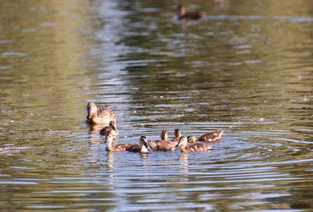 carefully: Duck keep their ducks to eat carefully and keep them