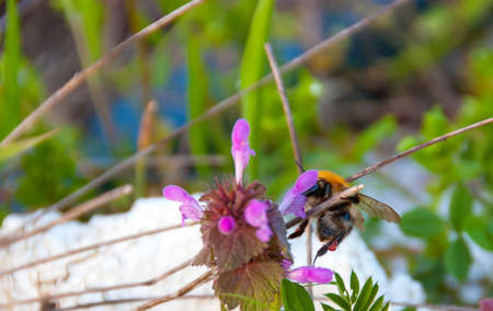 Bumblebee feeds on pollen from the flower juice