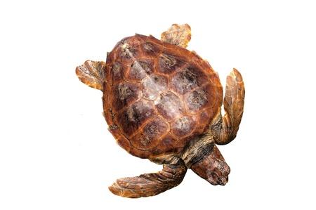 Loggerhead water schildpad (Caretta caretta) op een witte achtergrond Stockfoto