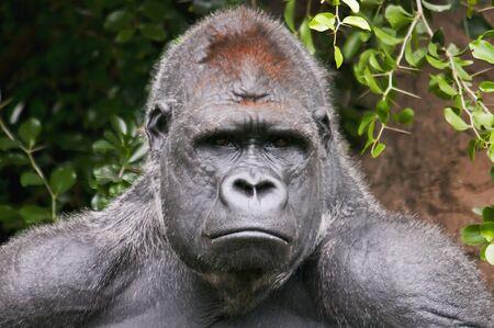 silverback: Gorilla laying on a tree log, looking at the camera