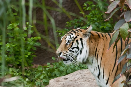 yellow tigers: Bengal tiger with vegetation, logs and rocks Stock Photo