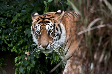 Bengal tiger with vegetation, logs and rocks Stock Photo