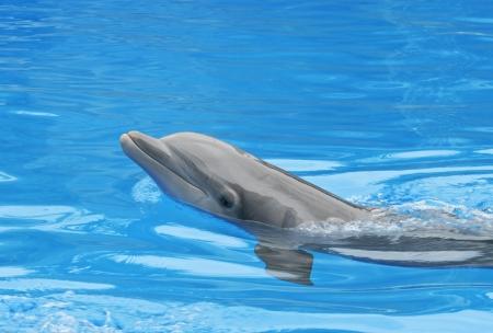 orificio nasal: Sonrisa Dolphin. Un delfín mirando su entrenador espera de su próxima orden