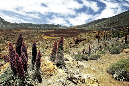 stone volcanic stones: Tower of jewels (Echium wildpretii), endemic flower of the island of Tenerife, Canaries.