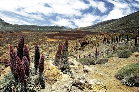 endemic: Tower of jewels (Echium wildpretii), endemic flower of the island of Tenerife, Canaries.
