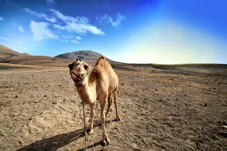 sinai: beautiful camel in the Canarian island, Lanzarote   Stock Photo