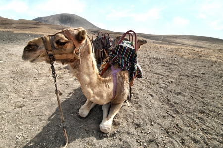 beautiful camel in the Canarian island, Lanzarote photo